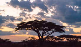 在日落的非洲金合欢树 免版税库存图片