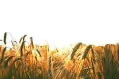 在日落的领域成熟的麦子 免版税库存照片