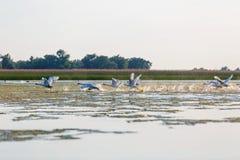 在日落的飞行的白色天鹅 库存照片