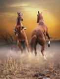 在日落的马战斗 库存照片