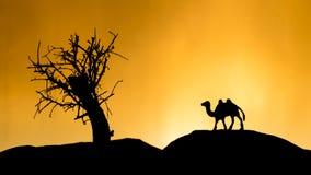 在日落的骆驼阴影 库存图片