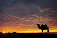 在日落的骆驼 免版税库存图片