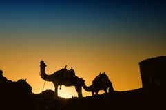 在日落的骆驼 免版税图库摄影