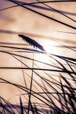 在日落的高草 免版税库存图片