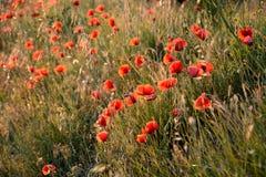 在日落的鸦片领域,沐浴在阳光,春天在普罗旺斯, F 免版税库存照片
