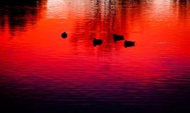 在日落的鸭子 图库摄影