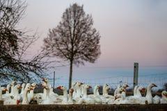 在日落的鹅 免版税库存照片