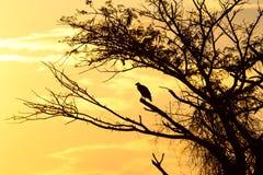 在日落的鹫 免版税库存照片