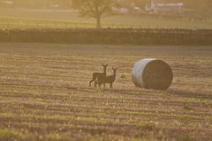 在日落的鹿 免版税库存照片
