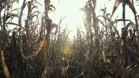 在日落的麦地在Lomellina乡下  影视素材
