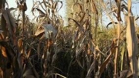 在日落的麦地在Lomellina乡下  股票视频
