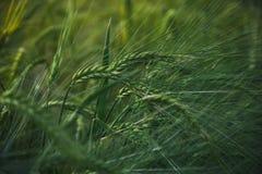 在日落的麦子耳朵 农业 日域热夏天麦子 夏天收获 库存照片