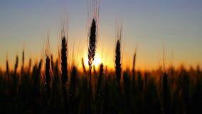 在日落的麦子,剪影 股票视频