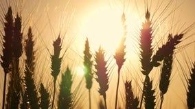 在日落的麦子 麦子耳朵特写镜头 免版税库存图片