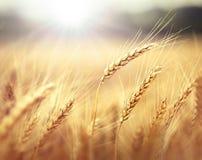 在日落的麦子 图库摄影