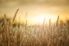 在日落的麦子 免版税库存图片