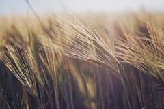 在日落的麦子 库存照片