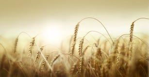 在日落的麦子 免版税图库摄影