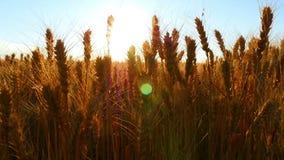 在日落的麦田,麦子特写镜头的耳朵 收获麦子 照相机滑子运动 股票录像
