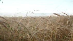 在日落的麦田 录影 麦子关闭的耳朵 收获和收获概念 金黄麦子摇摆的领域 股票视频