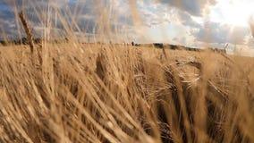 在日落的麦田 收获和收获概念 t 影视素材