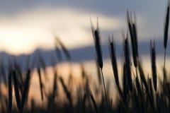 在日落的年轻大麦 库存图片
