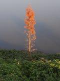 在日落的水杉 库存图片