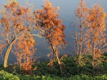 在日落的水杉 免版税库存图片