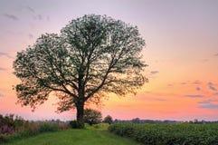 在日落的结构树 免版税库存图片