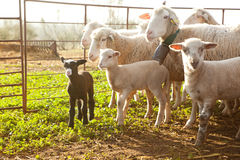 在日落的绵羊 免版税库存图片