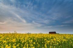 在日落的黄色油菜籽花田 库存照片
