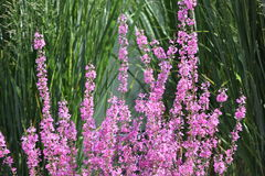 在日落的紫色淡紫色 免版税图库摄影