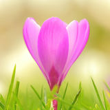 在日落的紫色番红花花 免版税库存照片