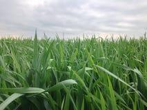 在日落的绿色麦田 免版税库存图片