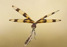 在日落的蜻蜓 库存图片
