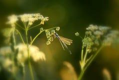 在日落的蜻蜓 免版税库存图片