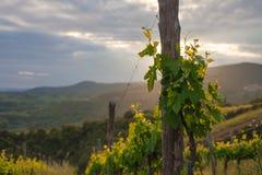 在日落的年轻酒分支在意大利 库存图片