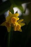 在日落的黄水仙 免版税库存照片