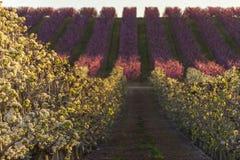 在日落的Aitona风景 与桃树行的领域和在绽放的洋梨树 桃红色和白花 r Hanami 免版税图库摄影