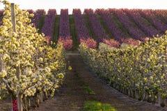 在日落的Aitona风景 与桃树行的领域和在绽放的洋梨树 桃红色和白花 r Hanami 免版税库存照片