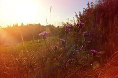 在日落的Carduus花-梦想的草甸 库存图片