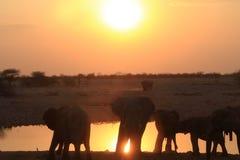 在日落的Elefants 库存照片