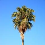 在日落的Plam结构树 免版税图库摄影