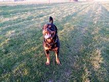 在日落的Rottweiler,2017年 免版税图库摄影