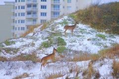 在日落美丽如画的鹿附近的巴拿马市海滩墨西哥湾母鹿 库存照片