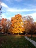 在日落聚焦的金黄秋天树 免版税图库摄影
