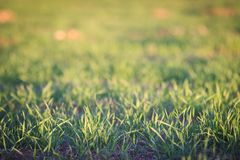 在日落背景摘要的绿草 免版税库存图片