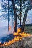 在日落背景的森林火灾 火焰和烟包括的整个面积 库存照片