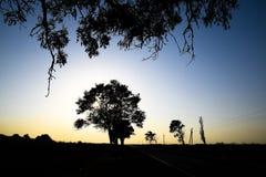 在日落背景的椴树 黑色剪影结构树 免版税库存照片