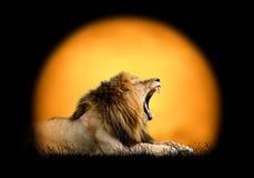 在日落背景的狮子  库存照片